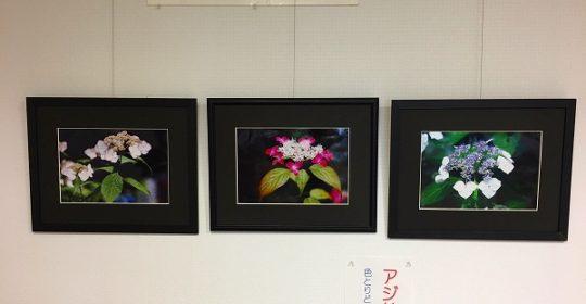 郷土の四季百景…紫陽花