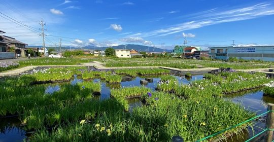 曽根城公園 花菖蒲園