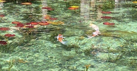 季節の花-モネの池