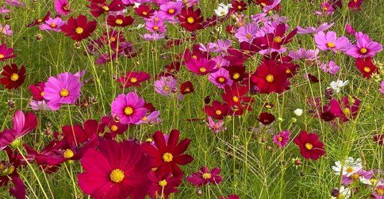 季節の花-コスモス